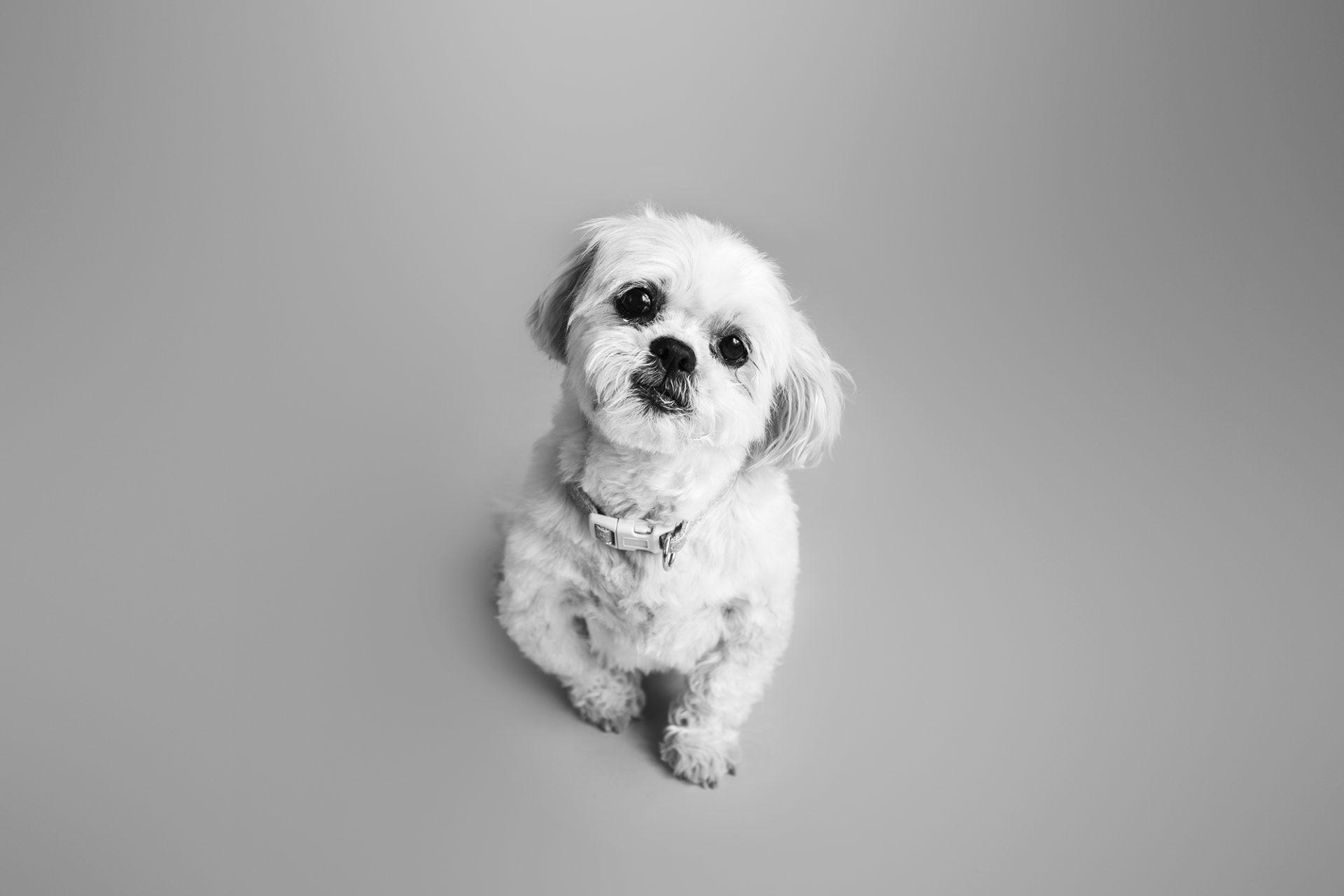 Shitzu pet portrait